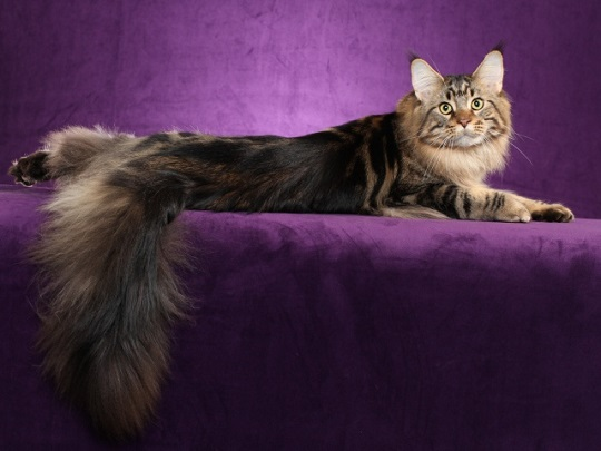 Animals___Cats_Maine_Coon_cat_posing_on_a_purple_background_044955_29