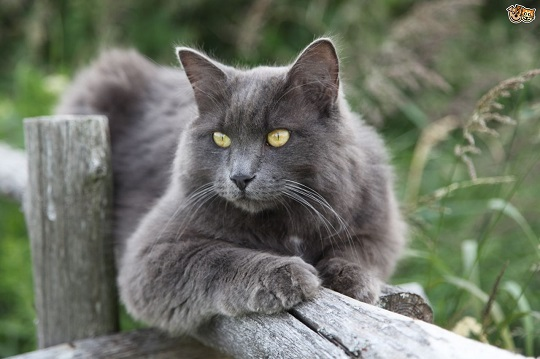 more-information-on-the-unusual-nebelung-cat-5484a55352c46