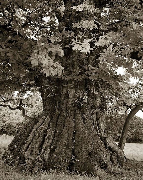 AncientTrees12