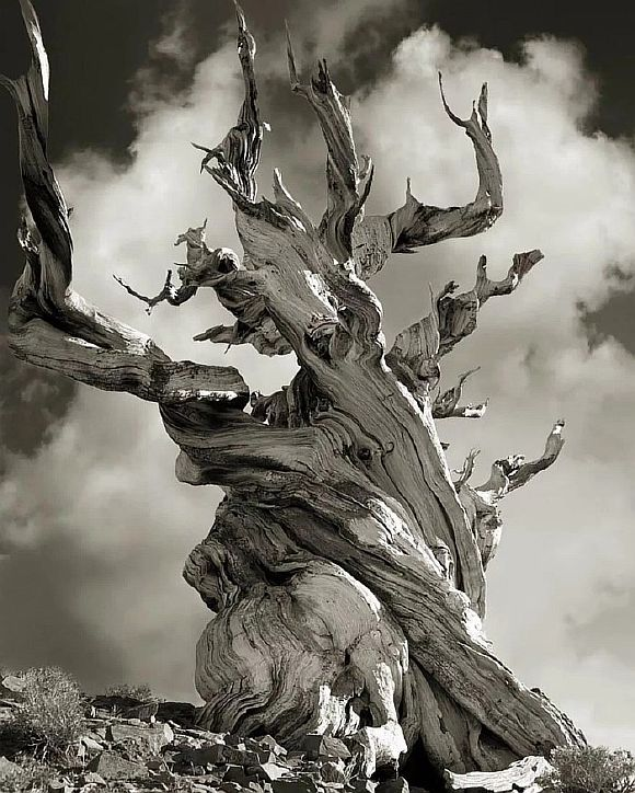 AncientTrees15