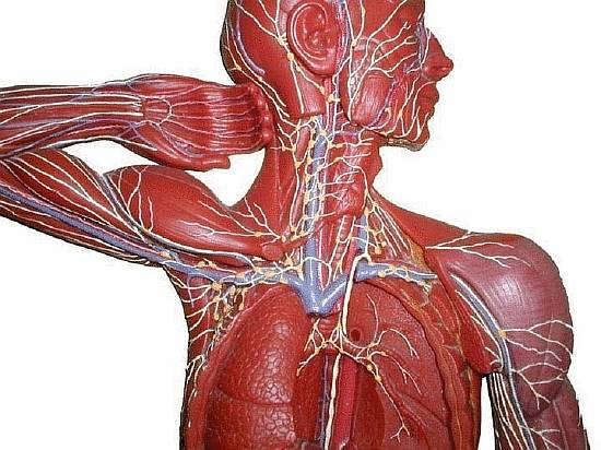 content_the_lymphatic_system_is_an_art