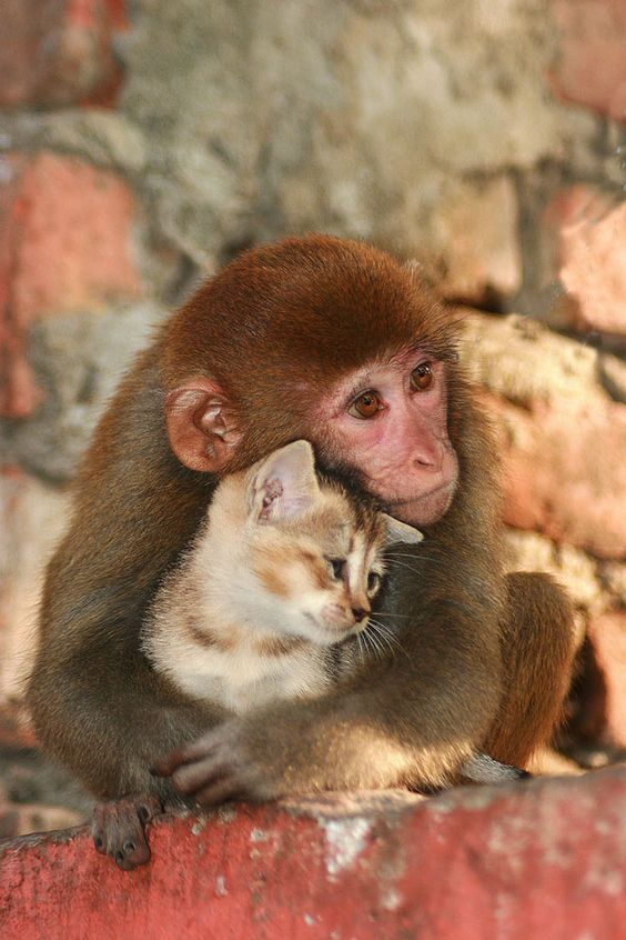 NAGAON, FEB 13 : A monkey sharing her love with a kitten in Nagaon, Assam,India on sunday evening. Pix by Diganta Talukdar