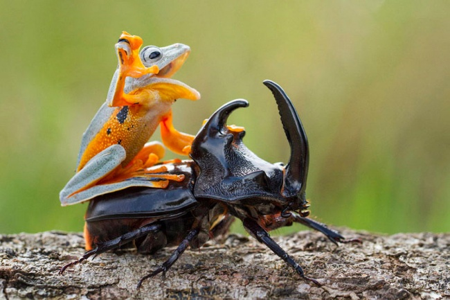 13550460-R3L8T8D-650-frog-riding-beetle-hendy-mp-2 (1)