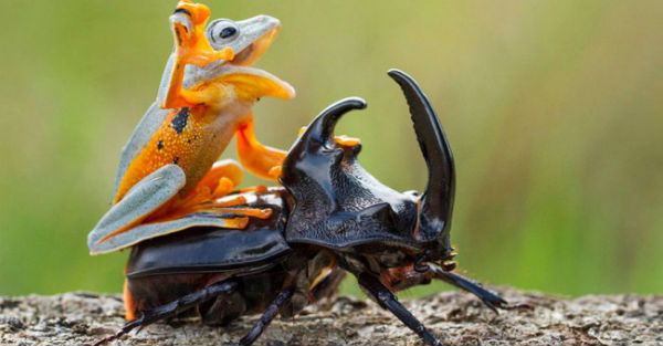 13550460-R3L8T8D-650-frog-riding-beetle-hendy-mp-2
