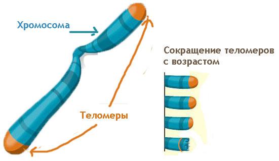 теломеры