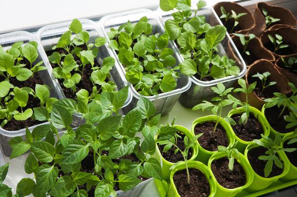 Выращиваем рассаду правильно