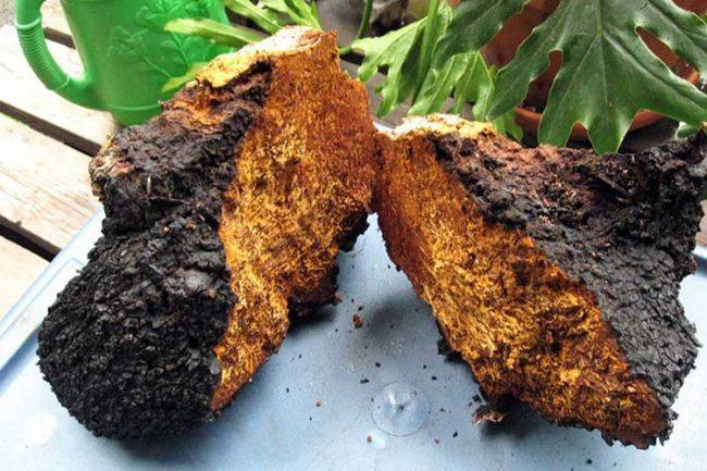 Целительные свойства гриба Чага