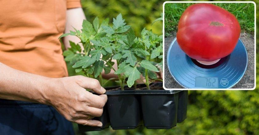 Посев томатов на рассаду: основные правила