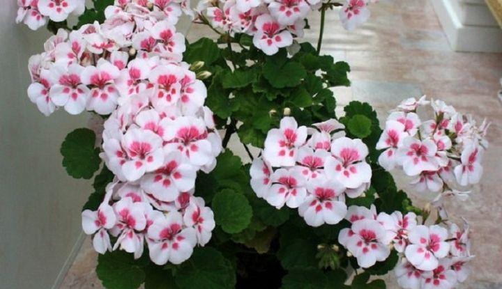 Чтобы обеспечить герани пышное цветение, нужно знать ЭТИ правила! Моим цветам завидуют все соседи